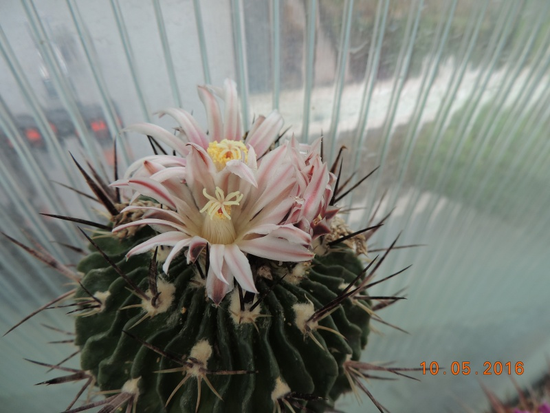 Cacti and Sukkulent in Köln, every day new flowers in the greenhouse Part 142 Bild_479