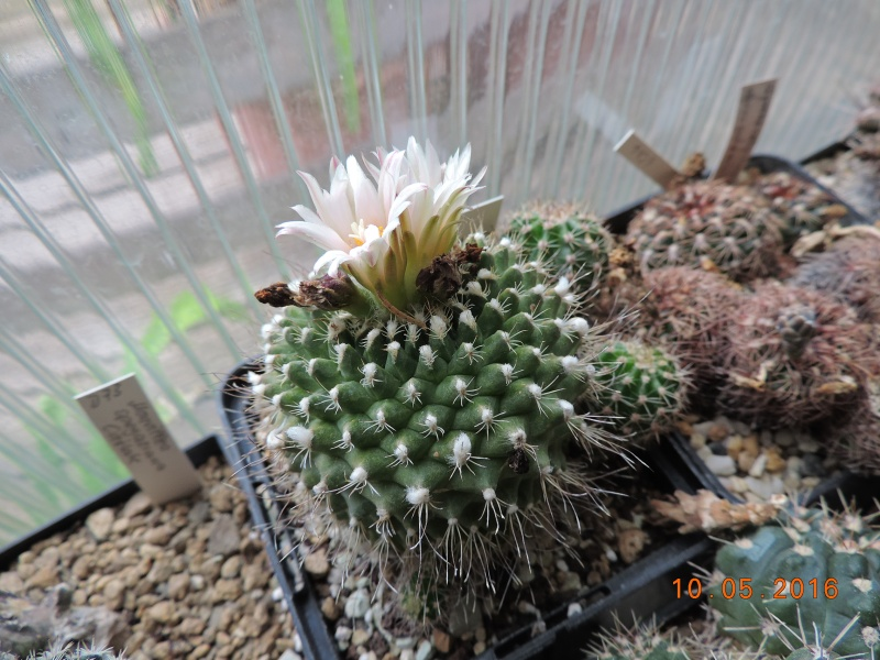 Cacti and Sukkulent in Köln, every day new flowers in the greenhouse Part 142 Bild_490