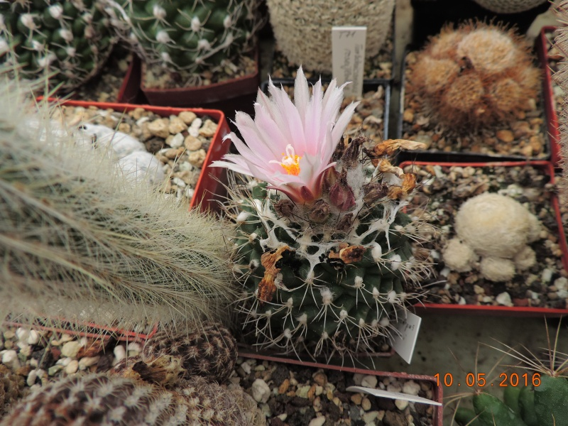 Cacti and Sukkulent in Köln, every day new flowers in the greenhouse Part 142 Bild_491