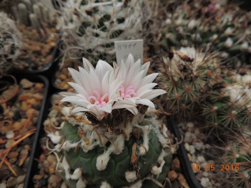 Cacti and Sukkulent in Köln, every day new flowers in the greenhouse Part 143 Bild_492