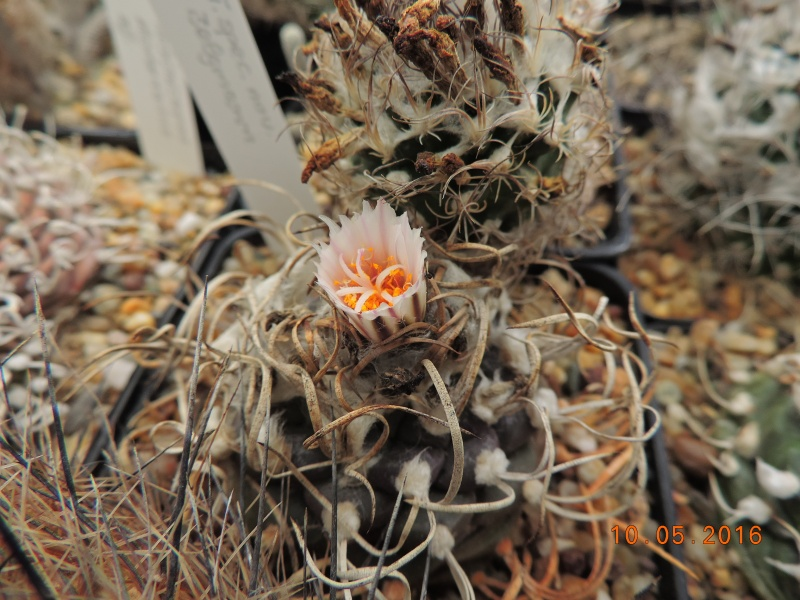 Cacti and Sukkulent in Köln, every day new flowers in the greenhouse Part 143 Bild_493