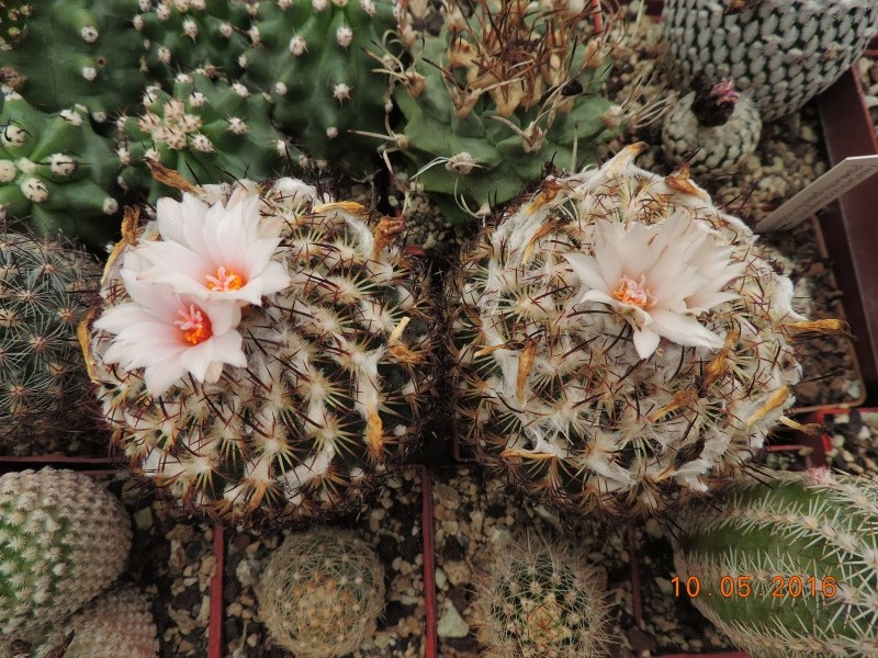 Cacti and Sukkulent in Köln, every day new flowers in the greenhouse Part 143 Bild_494