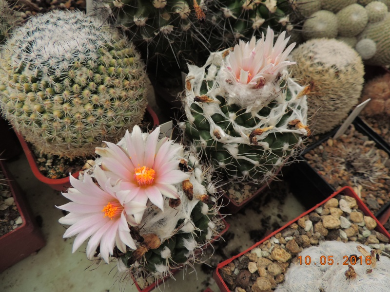 Cacti and Sukkulent in Köln, every day new flowers in the greenhouse Part 143 Bild_495