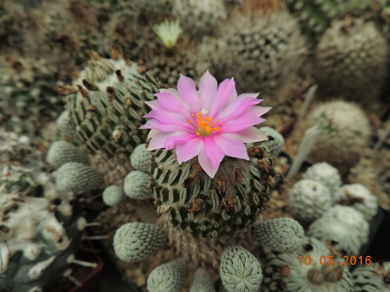 Cacti and Sukkulent in Köln, every day new flowers in the greenhouse Part 143 Bild_498