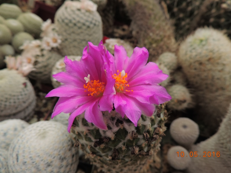 Cacti and Sukkulent in Köln, every day new flowers in the greenhouse Part 143 Bild_499