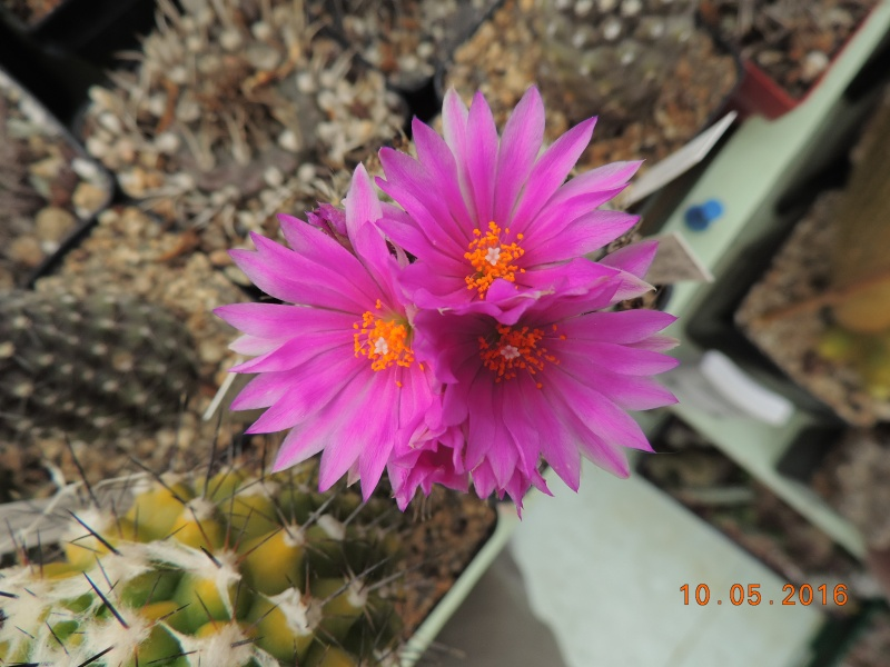 Cacti and Sukkulent in Köln, every day new flowers in the greenhouse Part 143 Bild_500