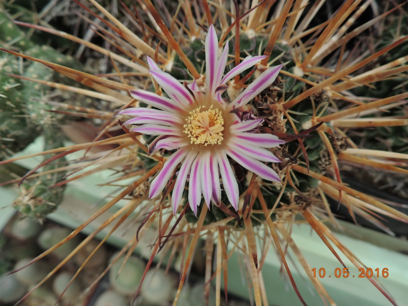 Cacti and Sukkulent in Köln, every day new flowers in the greenhouse Part 143 Bild_504