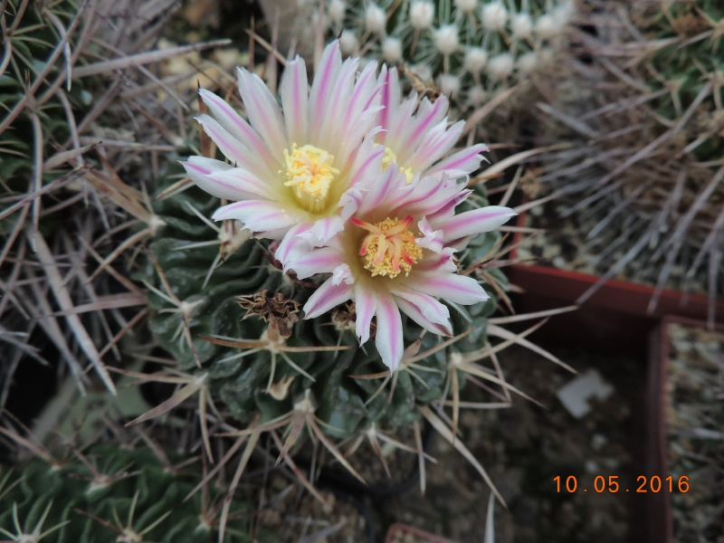 Cacti and Sukkulent in Köln, every day new flowers in the greenhouse Part 143 Bild_505