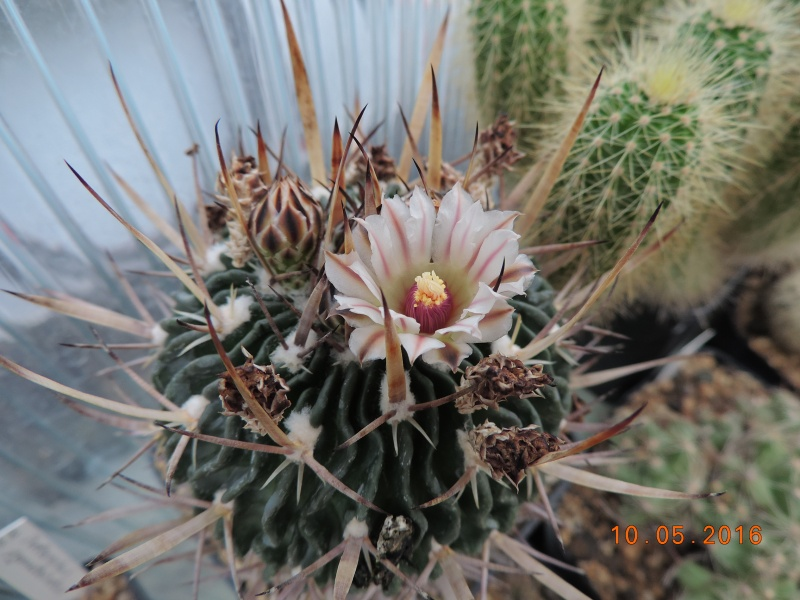 Cacti and Sukkulent in Köln, every day new flowers in the greenhouse Part 143 Bild_506
