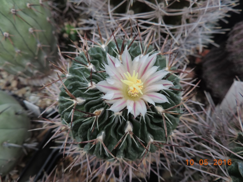 Cacti and Sukkulent in Köln, every day new flowers in the greenhouse Part 143 Bild_507