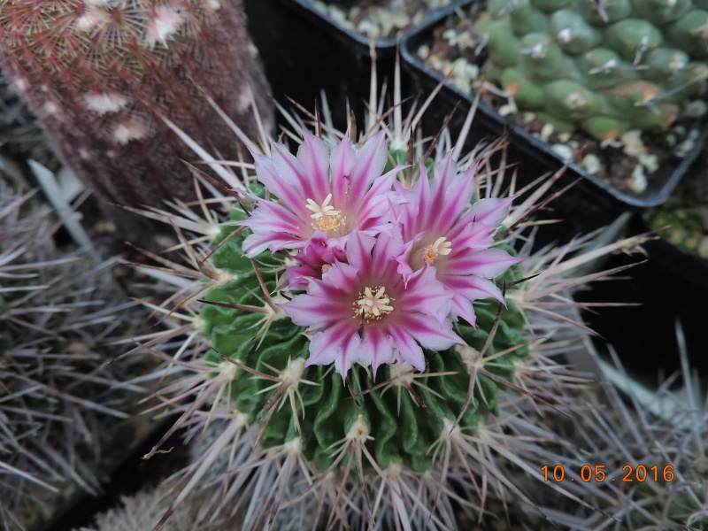 Cacti and Sukkulent in Köln, every day new flowers in the greenhouse Part 143 Bild_508