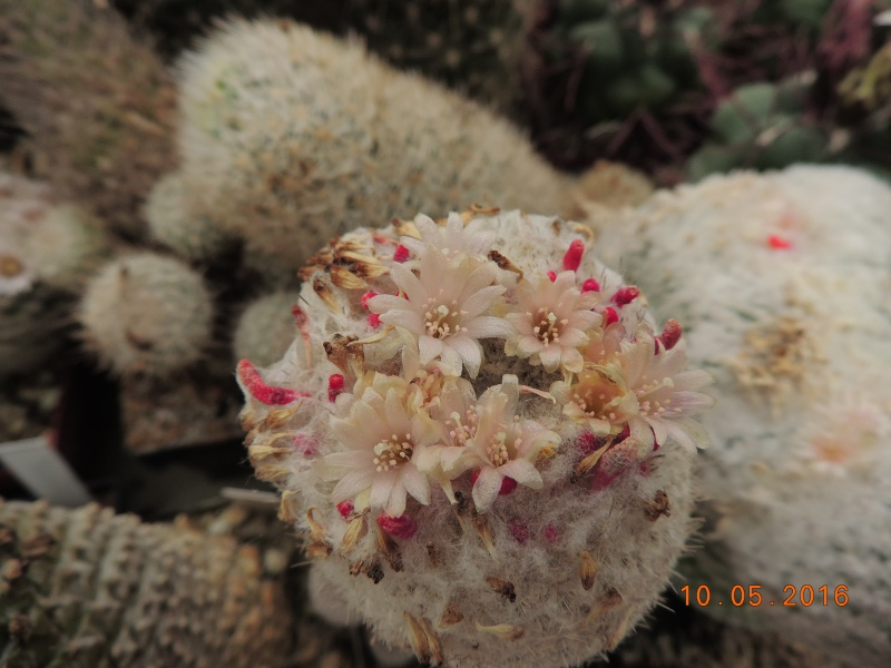 Cacti and Sukkulent in Köln, every day new flowers in the greenhouse Part 143 Bild_514