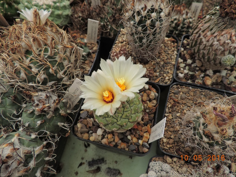 Cacti and Sukkulent in Köln, every day new flowers in the greenhouse Part 143 Bild_515