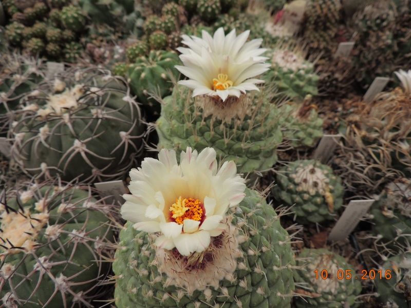 Cacti and Sukkulent in Köln, every day new flowers in the greenhouse Part 143 Bild_516
