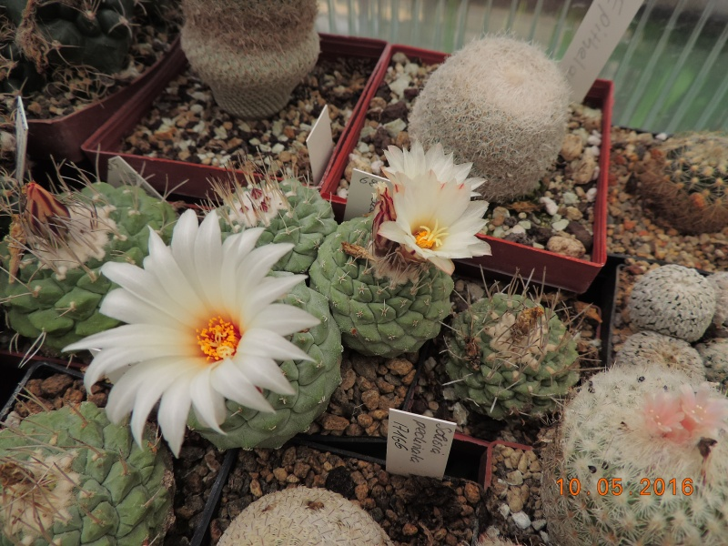 Cacti and Sukkulent in Köln, every day new flowers in the greenhouse Part 143 Bild_517
