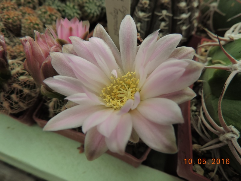Cacti and Sukkulent in Köln, every day new flowers in the greenhouse Part 143 Bild_519