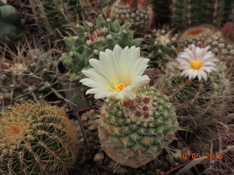 Cacti and Sukkulent in Köln, every day new flowers in the greenhouse Part 143 Bild_520
