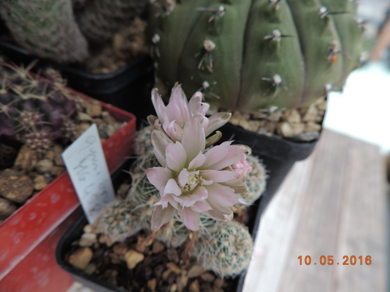 Cacti and Sukkulent in Köln, every day new flowers in the greenhouse Part 143 Bild_524