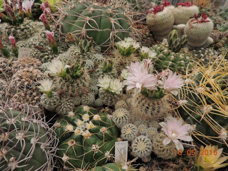 Cacti and Sukkulent in Köln, every day new flowers in the greenhouse Part 143 Bild_525
