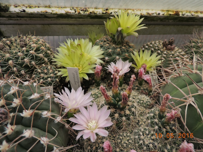 Cacti and Sukkulent in Köln, every day new flowers in the greenhouse Part 143 Bild_526