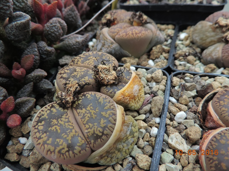Cacti and Sukkulent in Köln, every day new flowers in the greenhouse Part 143 Bild_528