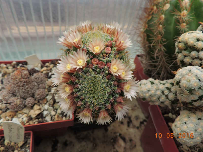 Cacti and Sukkulent in Köln, every day new flowers in the greenhouse Part 143 Bild_530