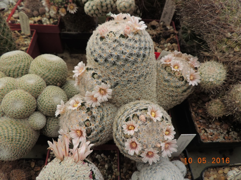 Cacti and Sukkulent in Köln, every day new flowers in the greenhouse Part 143 Bild_531