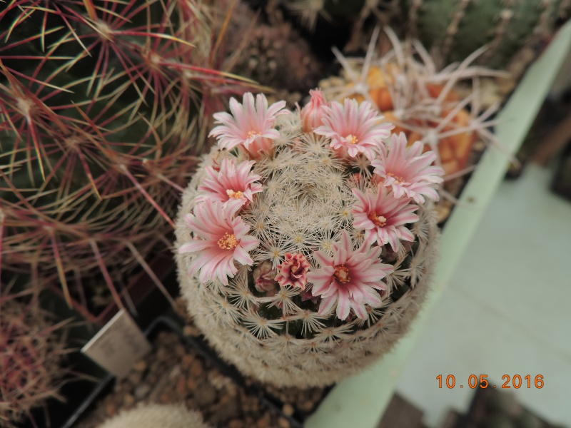 Cacti and Sukkulent in Köln, every day new flowers in the greenhouse Part 143 Bild_532