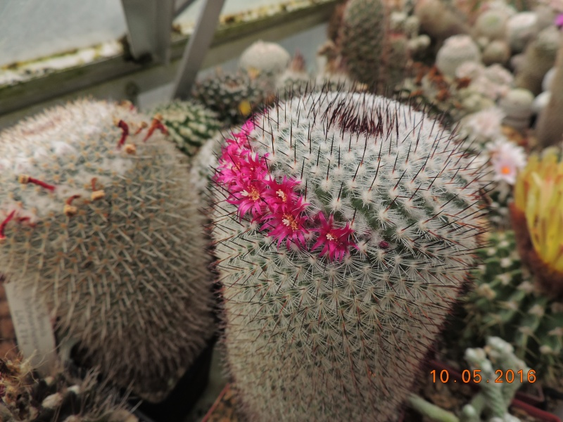 Cacti and Sukkulent in Köln, every day new flowers in the greenhouse Part 143 Bild_533
