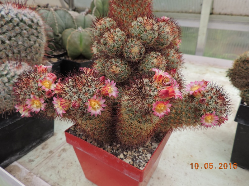 Cacti and Sukkulent in Köln, every day new flowers in the greenhouse Part 143 Bild_538