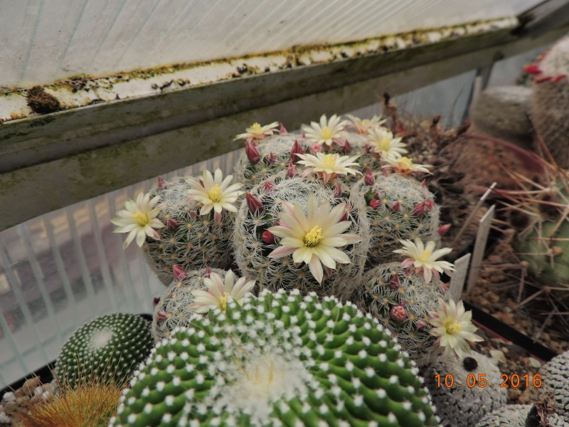 Cacti and Sukkulent in Köln, every day new flowers in the greenhouse Part 143 Bild_539