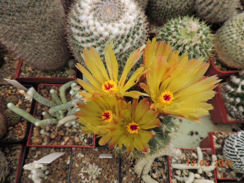 Cacti and Sukkulent in Köln, every day new flowers in the greenhouse Part 143 Bild_542