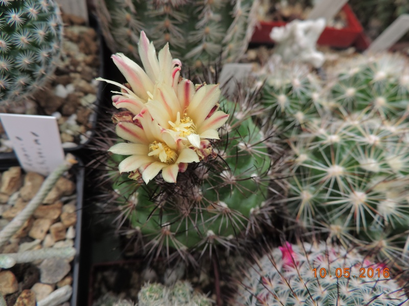 Cacti and Sukkulent in Köln, every day new flowers in the greenhouse Part 143 Bild_543