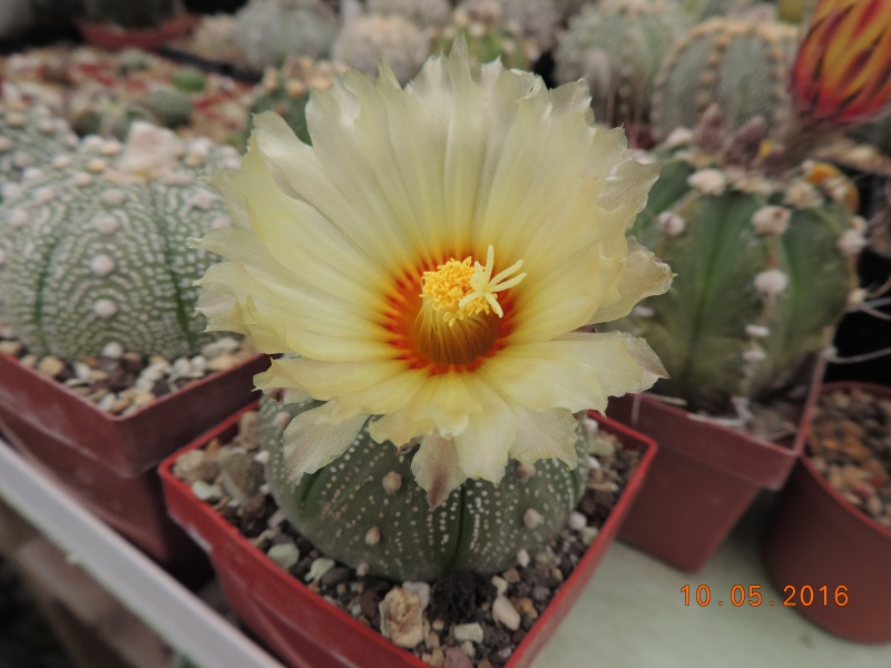 Cacti and Sukkulent in Köln, every day new flowers in the greenhouse Part 143 Bild_545
