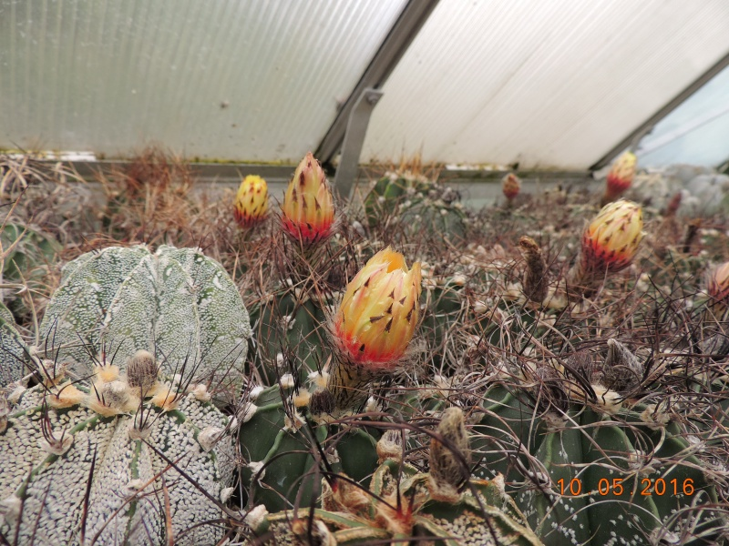 Cacti and Sukkulent in Köln, every day new flowers in the greenhouse Part 143 Bild_546