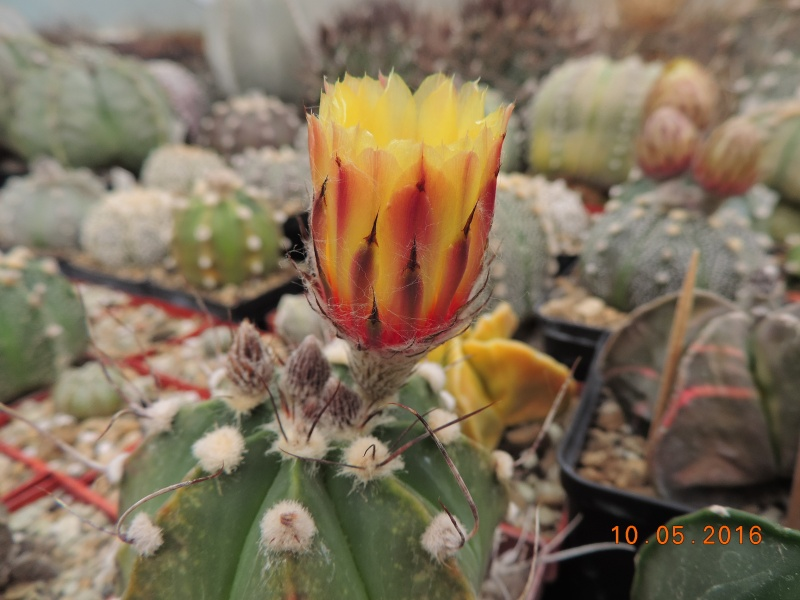 Cacti and Sukkulent in Köln, every day new flowers in the greenhouse Part 143 Bild_547