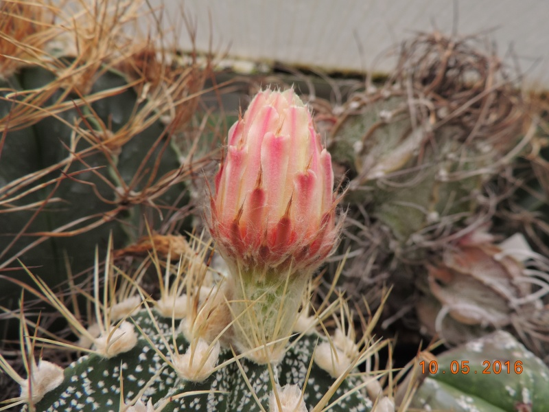 Cacti and Sukkulent in Köln, every day new flowers in the greenhouse Part 143 Bild_549