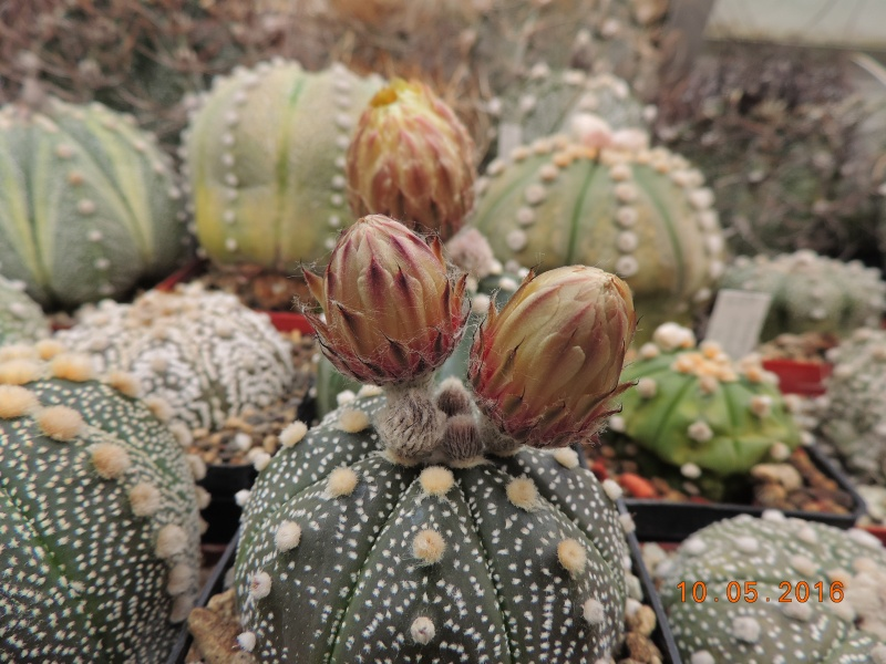 Cacti and Sukkulent in Köln, every day new flowers in the greenhouse Part 143 Bild_550