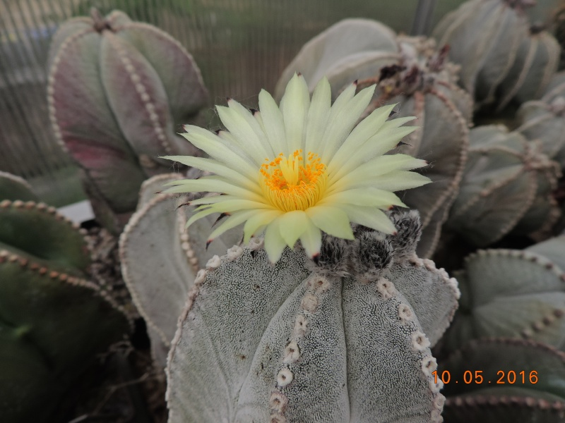 Cacti and Sukkulent in Köln, every day new flowers in the greenhouse Part 143 Bild_551