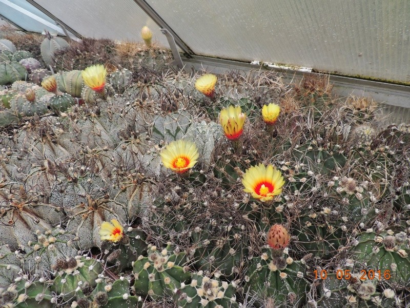 Cacti and Sukkulent in Köln, every day new flowers in the greenhouse Part 143 Bild_552