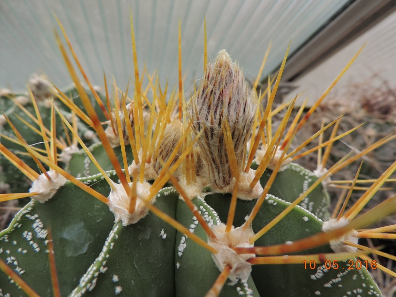Cacti and Sukkulent in Köln, every day new flowers in the greenhouse Part 143 Bild_553