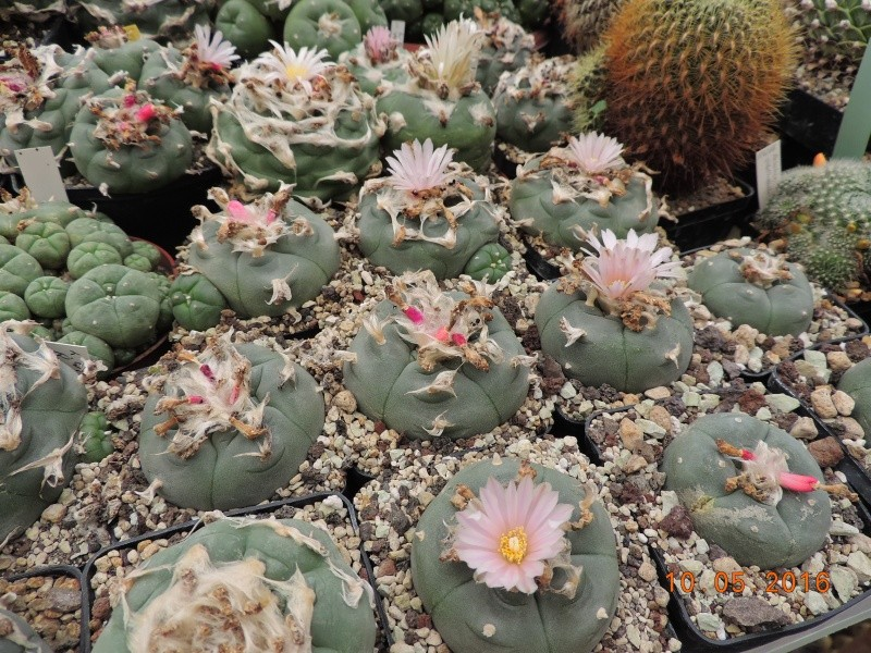 Cacti and Sukkulent in Köln, every day new flowers in the greenhouse Part 143 Bild_554