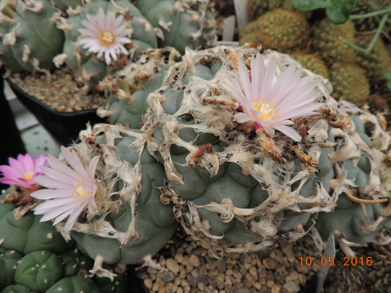 Cacti and Sukkulent in Köln, every day new flowers in the greenhouse Part 143 Bild_557