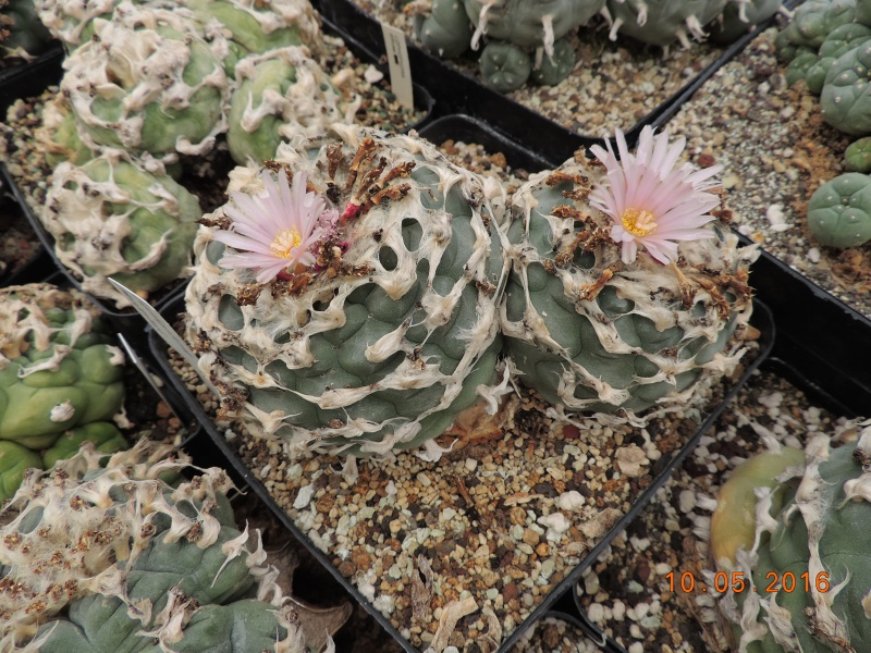 Cacti and Sukkulent in Köln, every day new flowers in the greenhouse Part 143 Bild_558