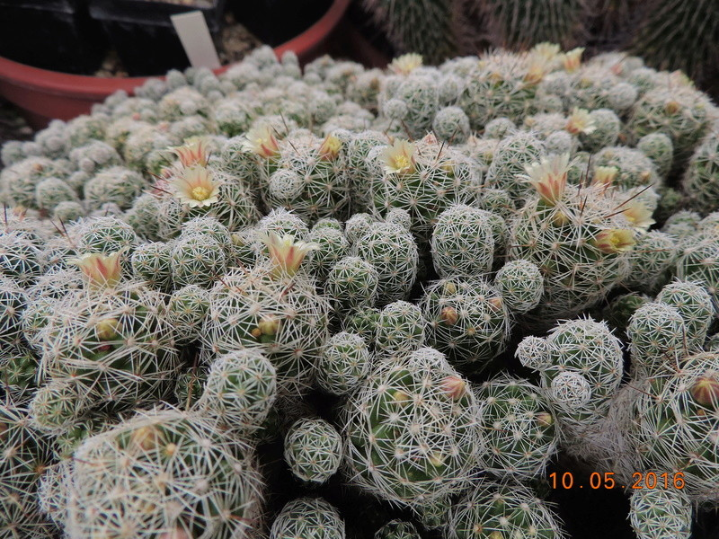 Cacti and Sukkulent in Köln, every day new flowers in the greenhouse Part 143 Bild_565