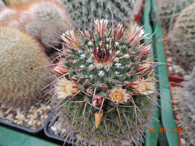 Cacti and Sukkulent in Köln, every day new flowers in the greenhouse Part 143 Bild_566