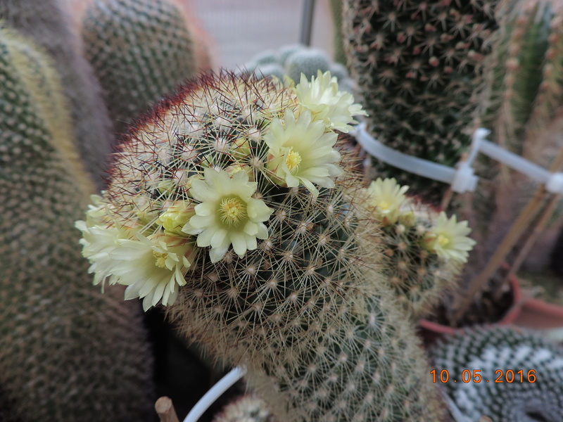 Cacti and Sukkulent in Köln, every day new flowers in the greenhouse Part 143 Bild_567