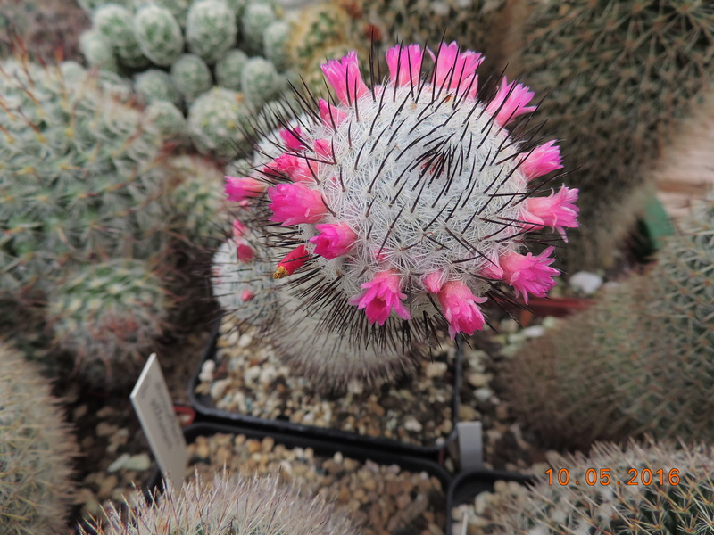 Cacti and Sukkulent in Köln, every day new flowers in the greenhouse Part 143 Bild_568