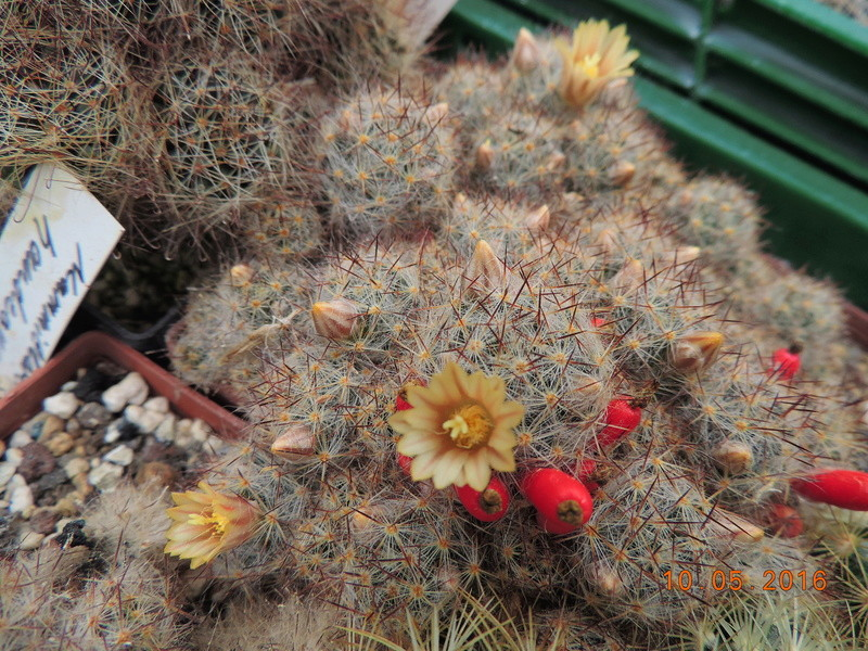 Cacti and Sukkulent in Köln, every day new flowers in the greenhouse Part 143 Bild_572