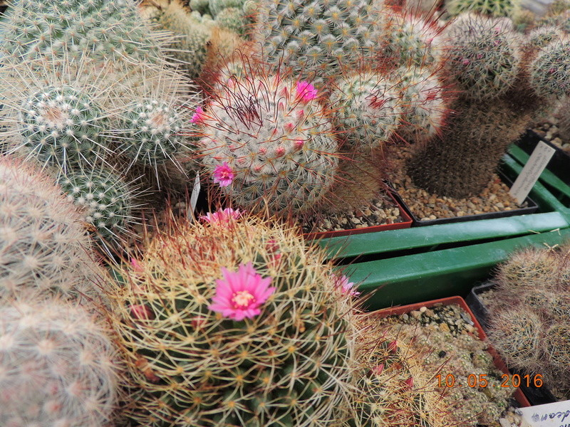 Cacti and Sukkulent in Köln, every day new flowers in the greenhouse Part 143 Bild_574